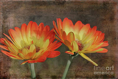 Photograph - Gerbera Glory by Nina Silver