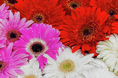 Photograph - Gerbera Iv by Paulo Goncalves