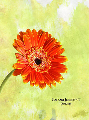 Gerbera Art Print by Mark Rogan