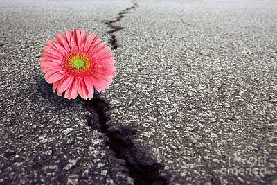 Closed Road Photograph - Gerbera On Asphalt by Carlos Caetano