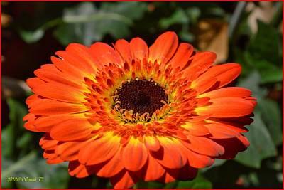 Photograph - Gerbera Orange Macro by Sonali Gangane