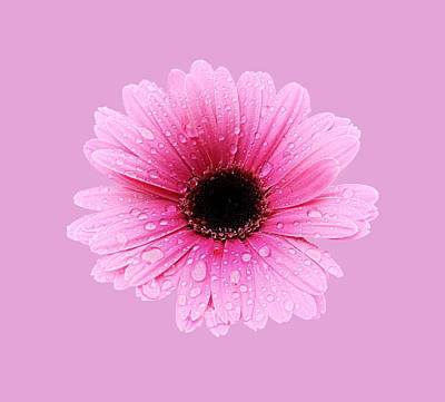 Photograph - Gerbera Pink - Daisy by MTBobbins Photography