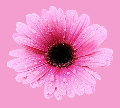 Photograph - Gerbera Pink - Daisy - Up Close by MTBobbins Photography