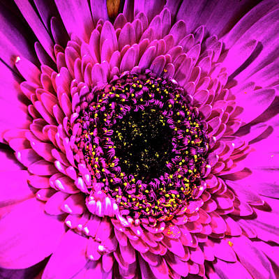 Photograph - Gerbera by Randy Scherkenbach