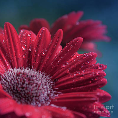 Gerbera Red Jewel Art Print