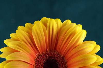 Gerbera Daisy Photograph - Gerbera Sunrise by Michael Park