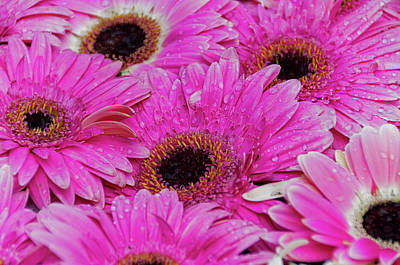Photograph - Gerbera V by Paulo Goncalves