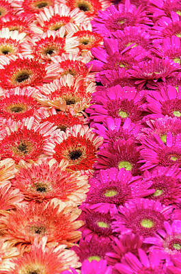 Photograph - Gerbera Vi by Paulo Goncalves