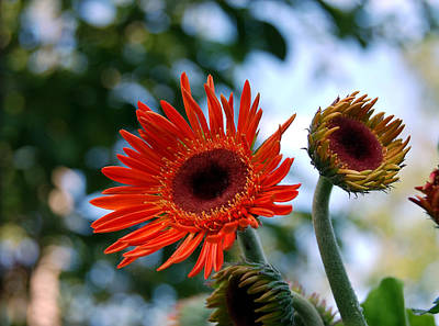 Still Life Photograph - Gerberas by Heather S Huston