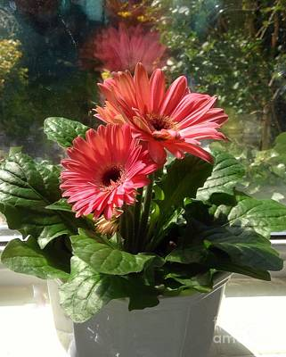 Photograph - Gerberas In Coral Pink 3 by Joan-Violet Stretch