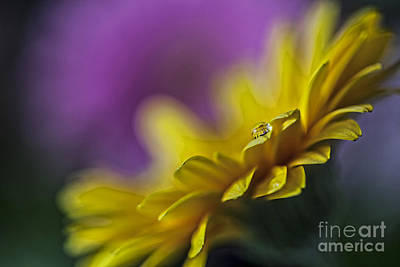 Photograph - Gergera Yellow by Shirley Mangini