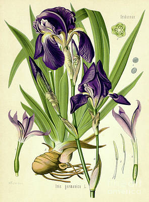 Irises Drawing - German Iris by German School