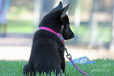 Photograph - German Shepard Puppy by Tony Baca