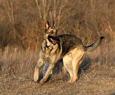 Photograph - German Shepherd 1 by David Dunham