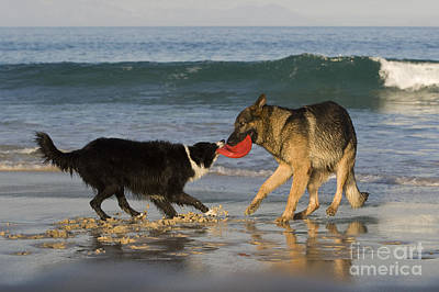 Dog At Beach Photograph - German Shepherd And Border Collie by Jean-Louis Klein & Marie-Luce Hubert