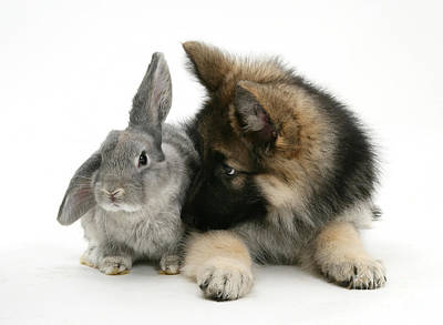 Bitch Photograph - German Shepherd And Rabbit by Mark Taylor