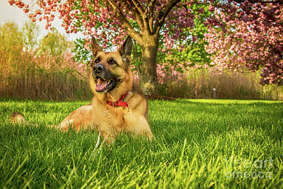 Photograph - German Shepherd At Rest by Eleanor Abramson