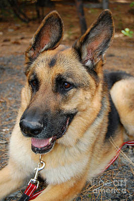 Photograph - German Shepherd by Debra Thompson