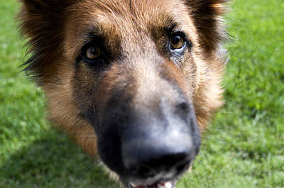 Alsatian Photograph - German Shepherd Dog by Fabrizio Troiani