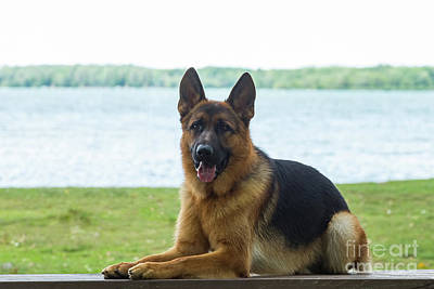 Photograph - German Shepherd Dog by Les Palenik