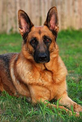 Photograph - German Shepherd Dog Portrait - Forrest by Angie Tirado