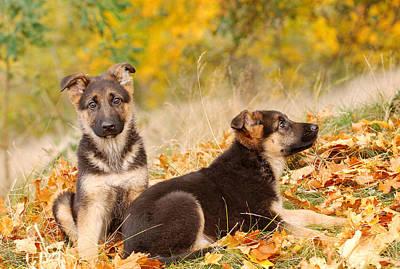 German Shephard Photograph - German Shepherd Dog Puppies by Waldek Dabrowski