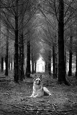 German Shepherd Dog Sitting Down In Woods Art Print
