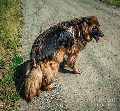 Photograph - German Shepherd On Trail by Blake Webster