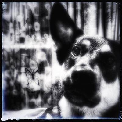 Photograph - German Shepherd Portrait In B And W by Yoursbyshores Isabella Shores
