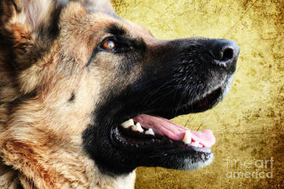 German Shepherd Portrait Art Print