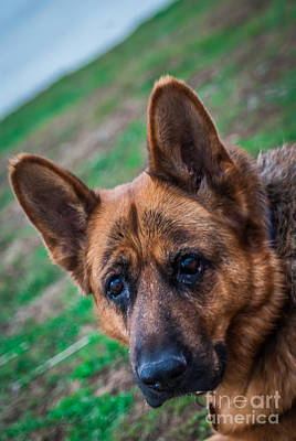 Photograph - German Shepherd Profile by Blake Webster