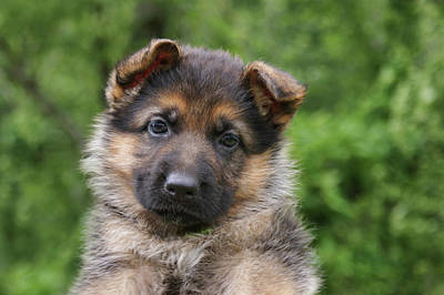 Photograph - German Shepherd Puppy IIi by Sandy Keeton