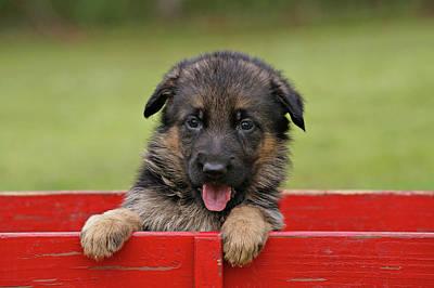 Photograph - German Shepherd Puppy In A Wagon by Sandy Keeton
