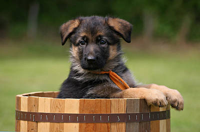 German Shepherd Puppy In Planter Art Print by Sandy Keeton