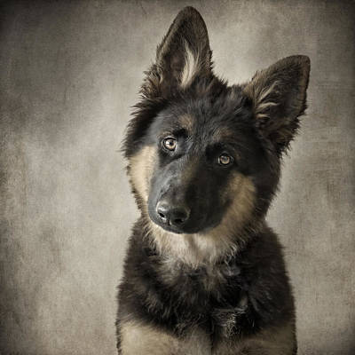 German Shepherd Puppies Photograph - German Shepherd Puppy by Wolf Shadow  Photography