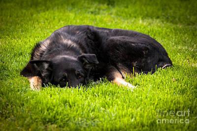 Photograph - German Shepherd Sleeping by Blake Webster
