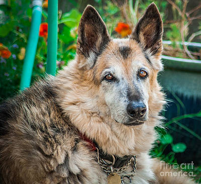 Photograph - German Shepherd Woody Profile by Blake Webster