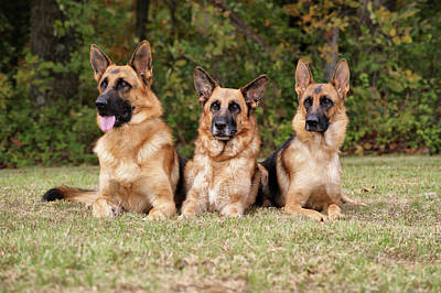German Shepherds - Family Portrait Art Print by Sandy Keeton
