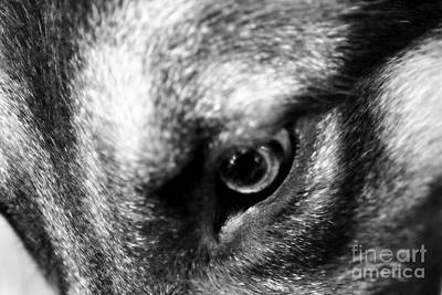 Photograph - German Shepherd's Eye by Tanya Searcy