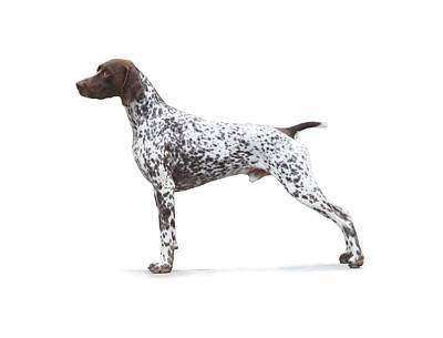 Photograph - German Shorthaired Pointer Art by Evelyn Odango