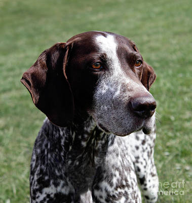 Photograph - German Shorthaired Pointer  by Steven Digman