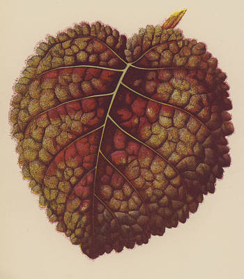 Botanical Drawing - Gesnera Cinnabarina by English School
