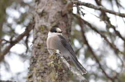 Photograph - Get My Good Side-grey Jay by David Porteus