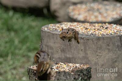 Photograph - Get Off My Stump by Dan Friend