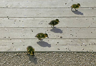 Photograph - Get Your Ducks In A Row by Nareeta Martin