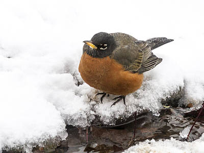 Red-breasted Robin Photograph - Getting Cold Feet by Jean Noren
