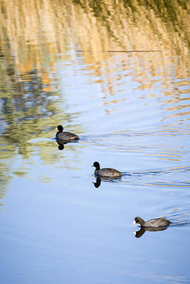 Photograph - Getting My Ducks In A Row by Albert Seger
