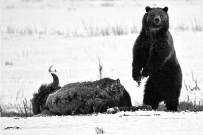 Photograph - Getting Ready For Dinner - Yellowstone Grizzly 2018 Crop Black And White by Adam Jewell