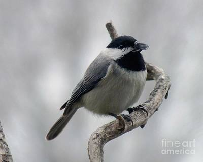 Getting Ready To Crack - Black-capped Chickadee Art Print