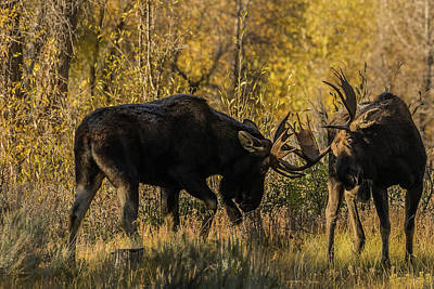 Photograph - Getting Serious During Rut by Yeates Photography